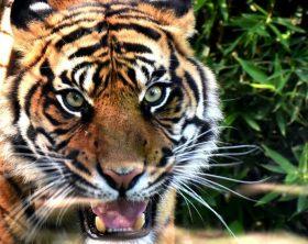 tigre-zoo-napoli-foto-di-antonio-musa