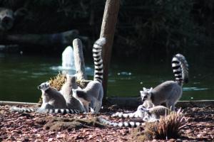 Lemuri allo zoo di Napoli