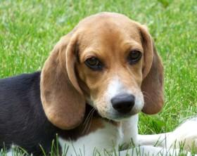 beagle-ret