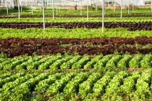 La produzione di insalate bio (2)