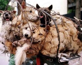 yulin-festival-carne-di-cane