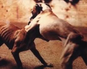 Combattimento-tra-cani