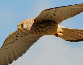 falco-ammaestrato