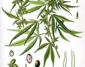 500px-Cannabis_sativa_Koehler_drawing