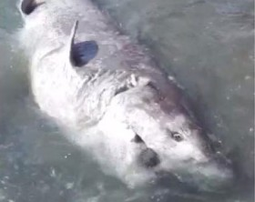 squalo-spiaggiato
