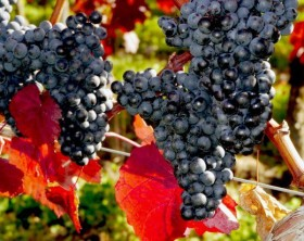 racimo-de-uvas-naturaleza-comida_1920x1080-730x412