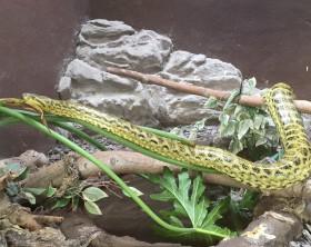 zoo napoli anaconda gialla -min