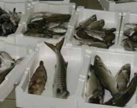 pesce-sequestrato