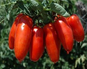 4159_pomodoro-san-marzano-guerra-per-loro-rosso-tra-conservieri-e-produttori