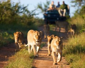 kapama-buffalo-camp-game-drive-lions-01-590x390
