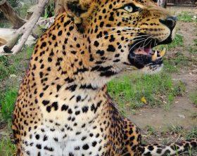 leopardo-shankiri-allo-zoo-di-napoli