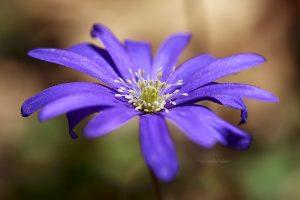 03-anemone_taddei