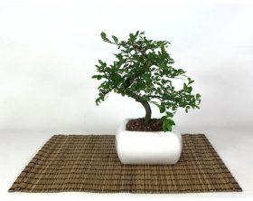 bonsai-di-olmo-in-vaso-quadro-bianco-cm-15-p-2809165-12264902_1