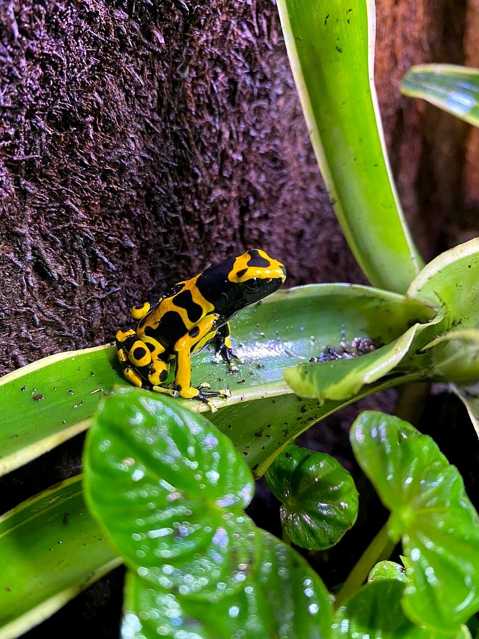 dendrobates-leucomelas-rana-freccia-dalle-bande-gialle