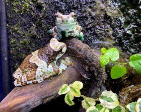 trachycephalus-resinifictrix-milk-frog