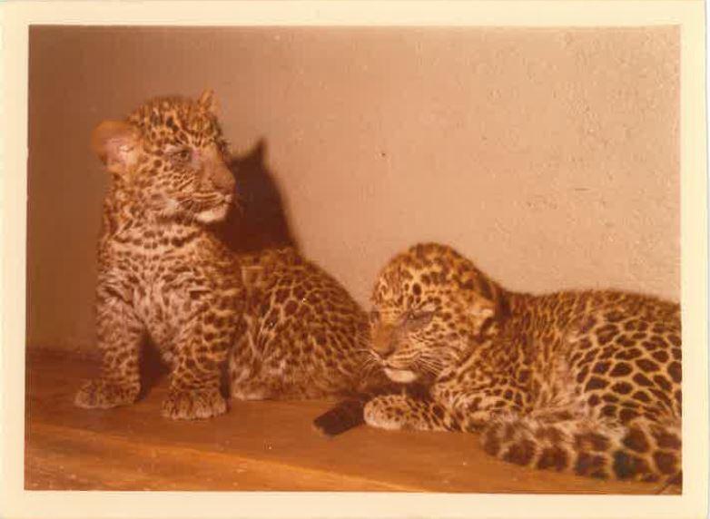 giaguari_1990